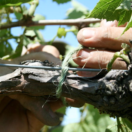 routine vineyard tasks, tying vines