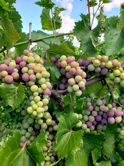 grapes, veraison
